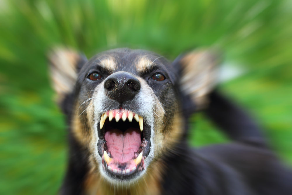 An angry German Shephard bares its teeth at the camera